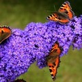 Is the Butterfly Plant Poisonous to Animals or Humans?