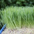 How Long Does it Take to Grow Wheatgrass?