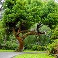 List of Evergreen Trees