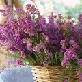 What Is the Meaning of the Heather Flower?