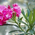 How to Control Oleander Aphids