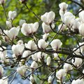 Do Magnolia Trees Lose Their Leaves?