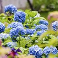 How Do I Take Care of an Endless Summer Hydrangea?
