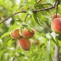 How to Grow Peach Trees in Florida