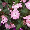 What Is Eating My Impatiens?