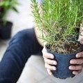Diseases that Kill Rosemary Plants