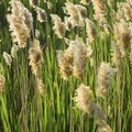 How to Grow Cattails