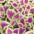 Caring for Coleus in the Winter