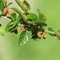 How to Identify a Mulberry Tree Leaf