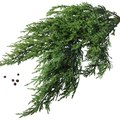 Common Diseases of the Wichita Blue Juniper