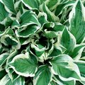 How to Prevent Holes in Hosta