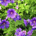 Are Geraniums Poisonous to Humans?