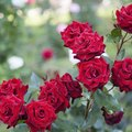 What Causes Holes in the Leaves of Rose Bushes?
