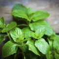 How to Get Rid of Mint Plants