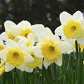 How to Identify Jonquils and Daffodils