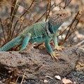 Oklahoma Lizard Identification