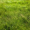 Can You Grow Saint Augustine Grass from Seed?