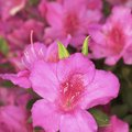 Names & Colors of Azaleas