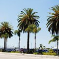 Will Palm Trees Grow Back if You Cut Their Trunks?