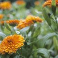How to Tell if a Marigold Is a Calendula