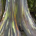 Rainbow Eucalyptus Facts