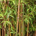 How Often Do You Water Bamboo Plants?