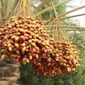 How to Grow Date Trees From a Seed