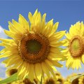 How Much Water Do Sunflower Plants Need?