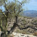 How to Plant a Palo Verde Tree