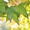 Maple Tree Bugs