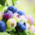 Which Animals Eat Blueberries?