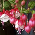 When to Prune a Fuchsia