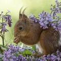 Are Lilac Bushes Poisonous to Animals?