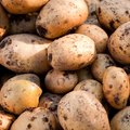 How to Grow Yukon Gold Potatoes