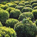 How Tall Do Boxwood Shrubs Grow?