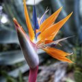 Why Won't My Bird of Paradise Plant Flower?