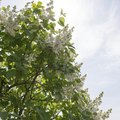 Lilac 'Ivory Silk' Tree Facts