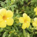 How to Grow Esperanza Yellow Bells