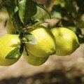 Meyer Lemon Tree Diseases