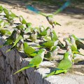 How to Attract Wild Quaker Parrots to a Yard