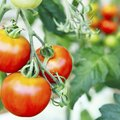 Baking Soda Spray for Tomatoes