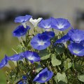 What is the Meaning of the Morning Glory Flower?