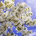 White Flowering Trees in the Spring