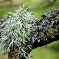What to Use for Lichen on Crape Myrtle