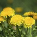 How to Permanently Kill Dandelions in Your Lawn