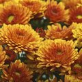 How Long Do Mums Last When They Are in Bloom?