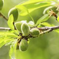 How to Grow an Almond Tree