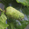 How to Grow Noni Plant