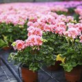 The Causes of Yellow Leaves on Geraniums