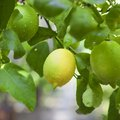 How to Care for a Lemon Tree